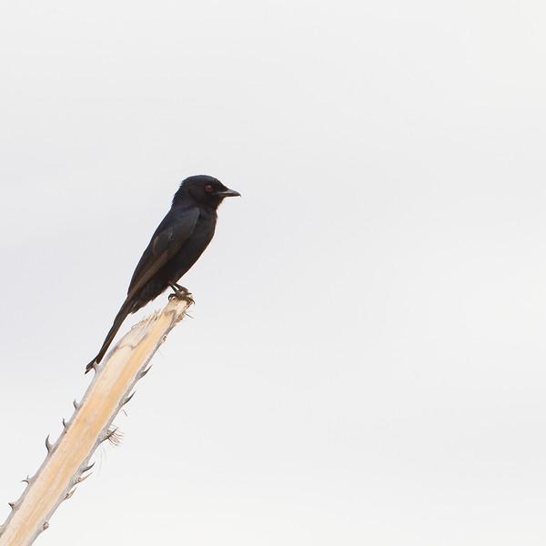 Square-tailed Drongo - Tarangire National Park, Tanzania