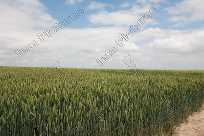 Wheat,graan,blé