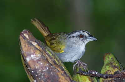 Black-headed Brush-Finch