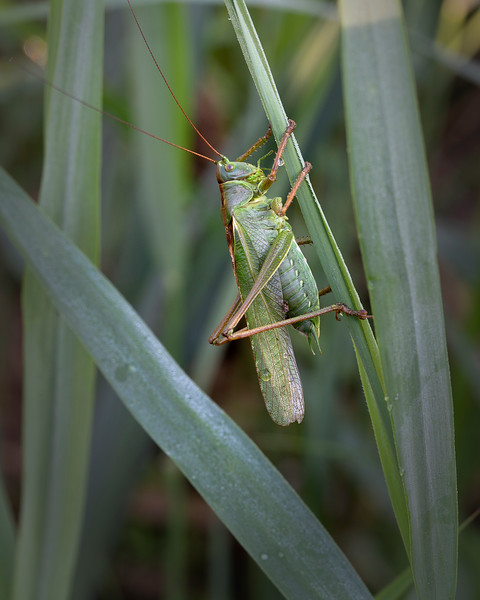 Giant Green bush cricket