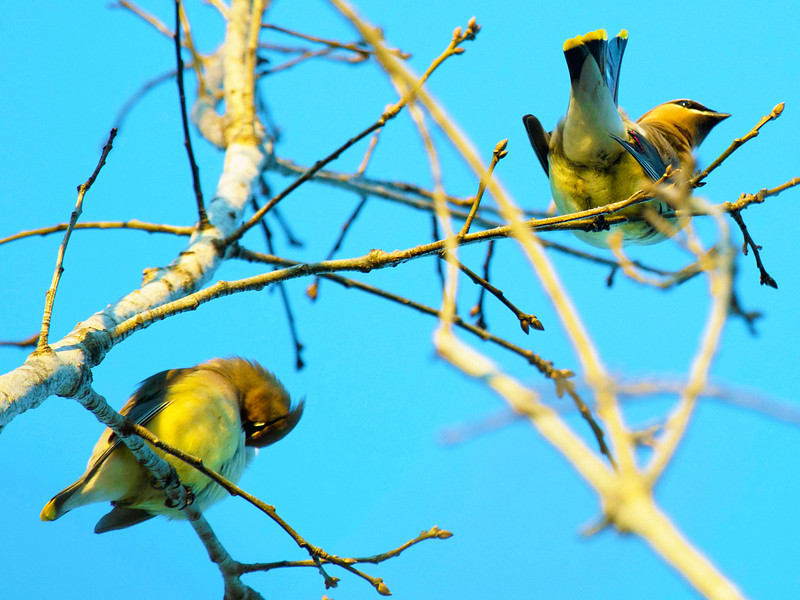 The cedar waxwings passing through our yard