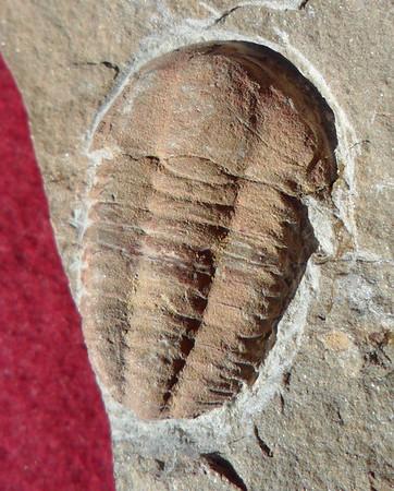 #2128 Kingaspis glabrata Pos/Neg (2,8 cm)