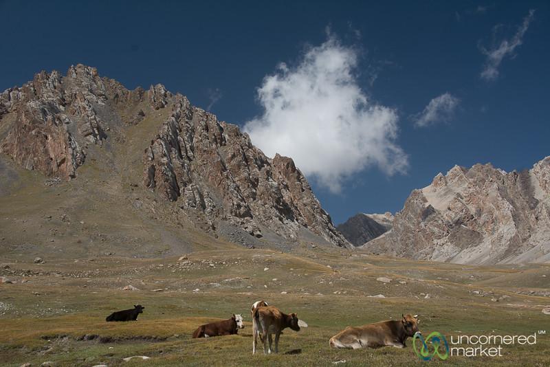 Mountain Cows - Koshkol Lakes Trek, Alay Mountains of Kyrgyzstan
