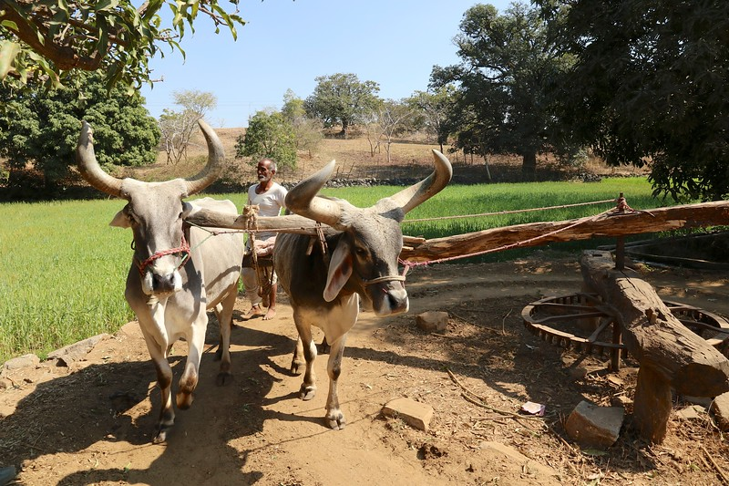 Happened by this man guiding his ox around in a circle to make the pulley system work on the well to bring up pails of water.