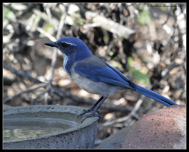 Western Scrub-Jay, The Drip, Cabrillo National Monument, San Diego County, California, November 2009