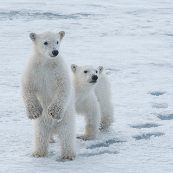 Polar Bear cubs, Hornsund 2