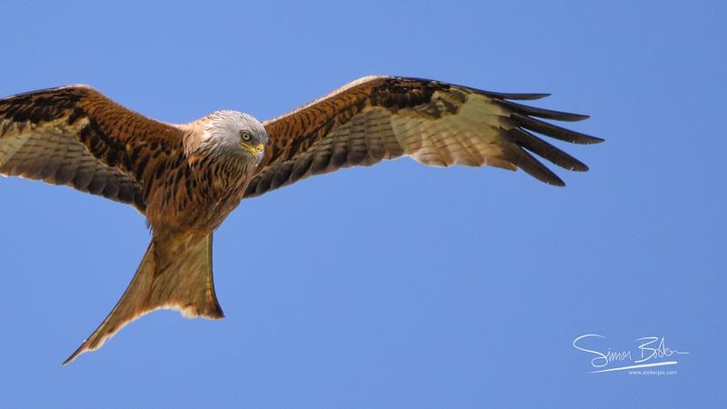 Regal in Flight