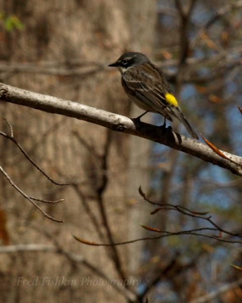 sparrow yellow tail.jpg