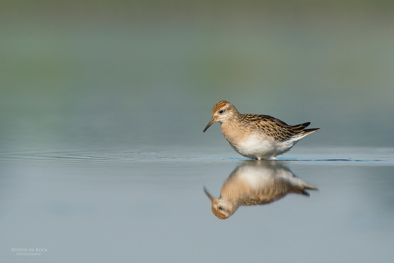 Sharp-tailed Sandpiper, Pitt Town Lagoon, NSW, Aus, Oct 2013-1.jpg