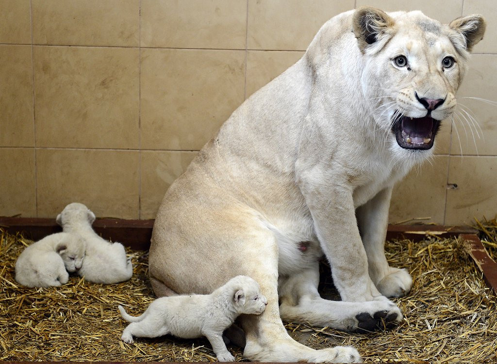 . <p>6. LIONS <p>They don�t always eat their young. Just when they feel like it.   (Janek Skarzynski/AFP/Getty Images)