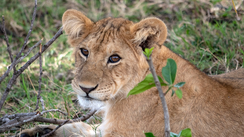 Tanzania-Serengeti-National-Park-Safari-Lion-08.jpg