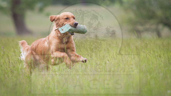 CANCER RESEARCH CHARITY GUNDOG WORKING TEST - JUNE 2015