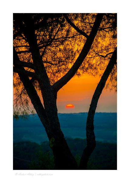 Tuscan sunset through olive tree,