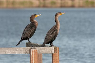 Other Sea Birds - Victoria