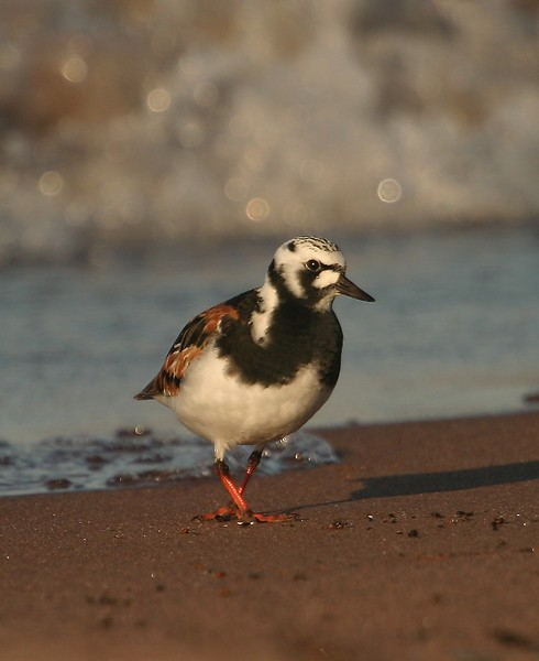 Ruddy Turnstones are a colorful addition to the spring flood of migrants coming through the Great Lakes each spring. The Ruddy Turnstone is on its way to the Arctic for breeding [May; Wisconsin Point, Lake Superior, Superior, Wisconsin]