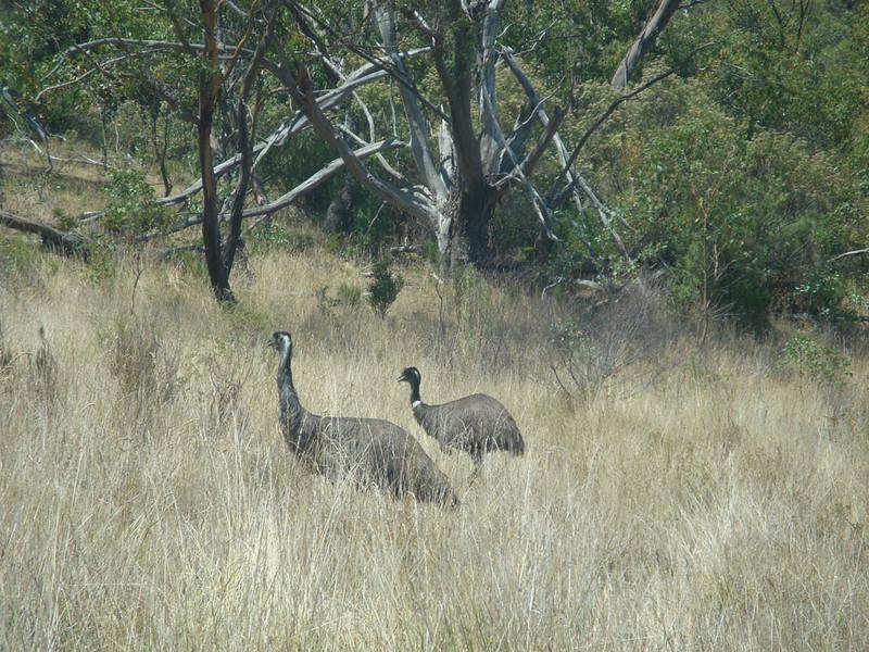 Passing wild emus...