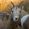 Big Horn Sheep - Alberta