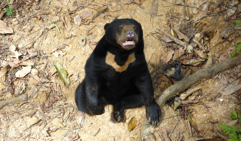 Sun Bear Conservation & Rainforest Discovery Centers, Borneo (Apr 13, 2014)
