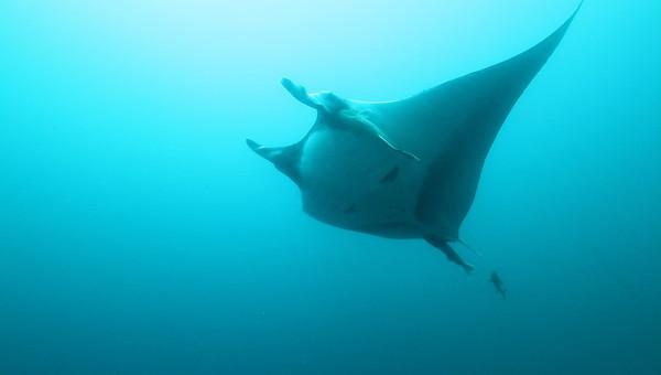 Manta Ray and singing Humpback Whales