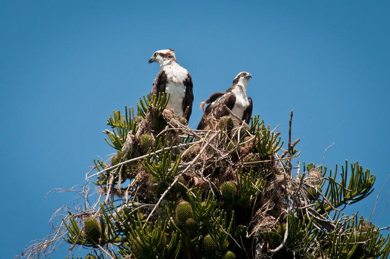 Ospreys in Slash pine