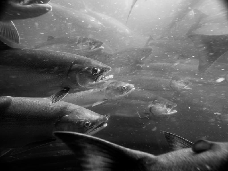 Salmon at Ballard Locks