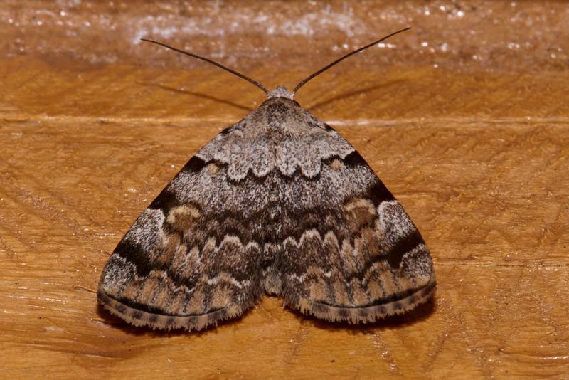 Idia Moth - American - (Idia americalis) - Dunning Lake - Itasca County, MN