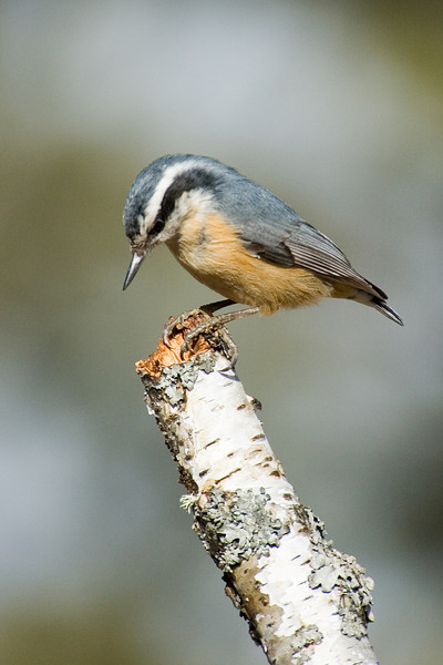 Nuthatch - Red-breasted - female - Dunning Lake, MN - 02