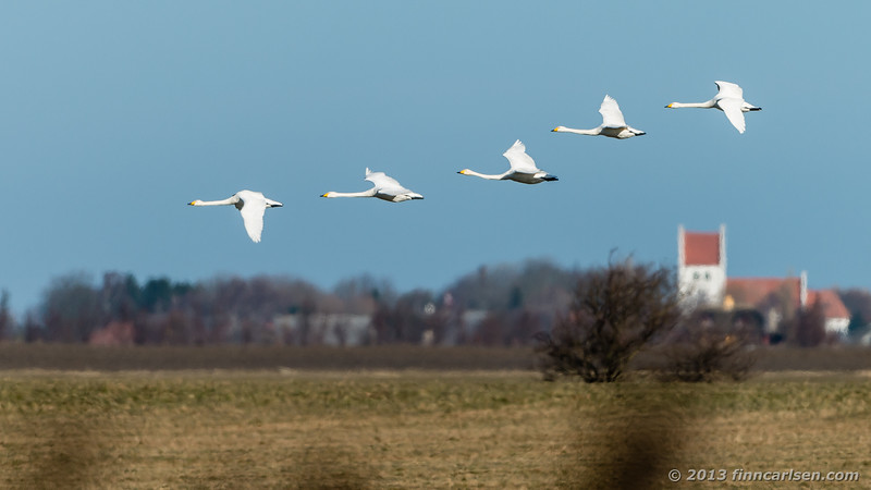 Sangsvaner (Cygnus cygnus - Whooper Swan)