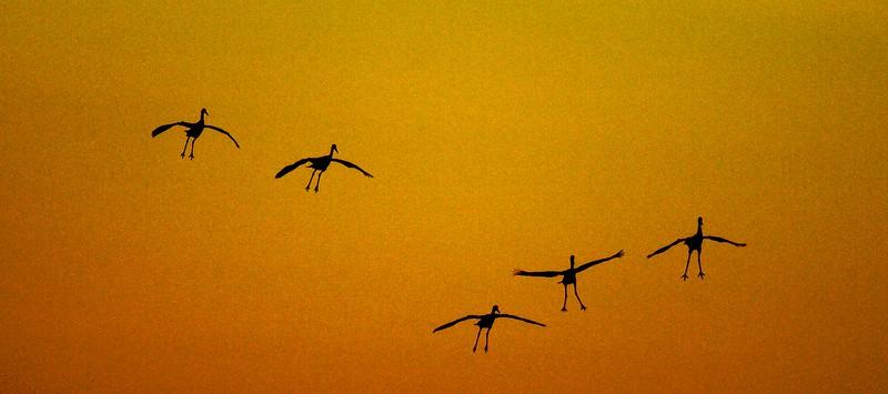 Sandhill Cranes with landing gear down; Crex Meadows  [October 2008, near Grantsburg, Wisconsin]