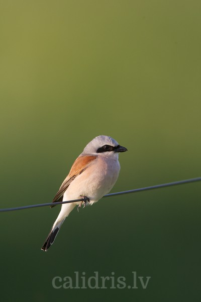 Red-backed Shrike sits on wire / Br?n? ?akste uz ?oga dr?ts