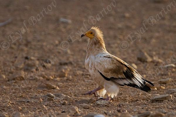 Birds of Prey - עופות דורסים