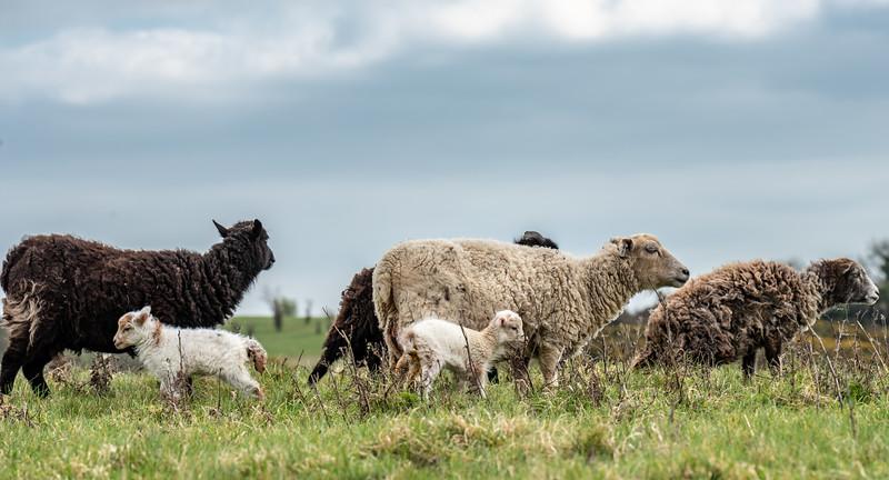 Malling Down Lambing Season-5.jpg