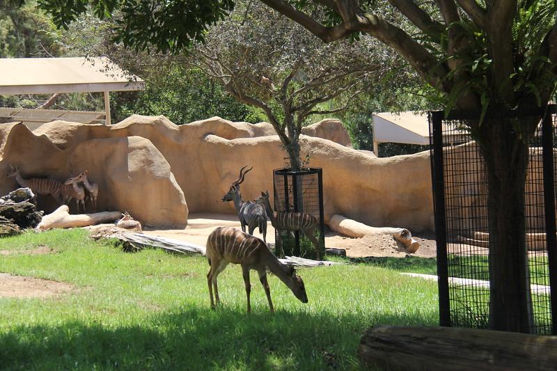 20170807-109 - San Diego Zoo - Antelope.JPG