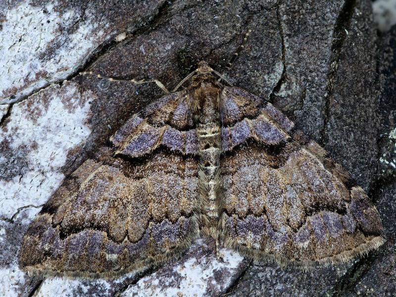 Variable Carpet Moth