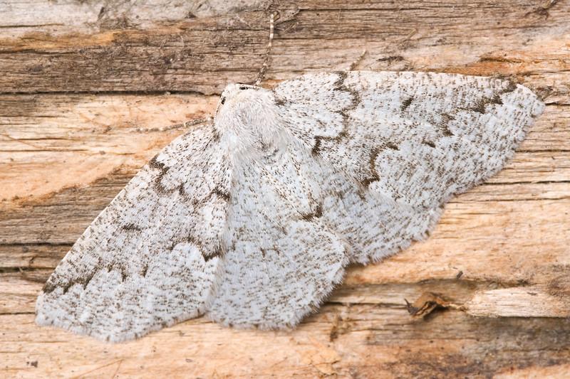 Packard's Girdle Moth