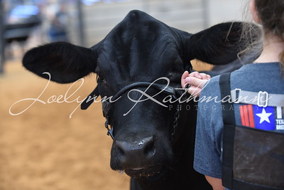 Owned Show Ringshots - Black Heifers