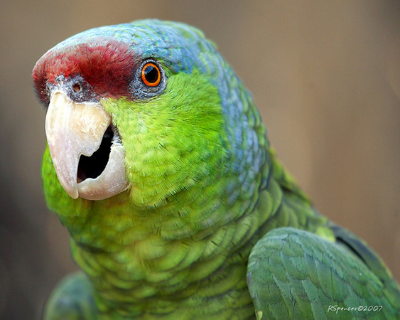 20070725205849_lilac-crowned parrot .jpg