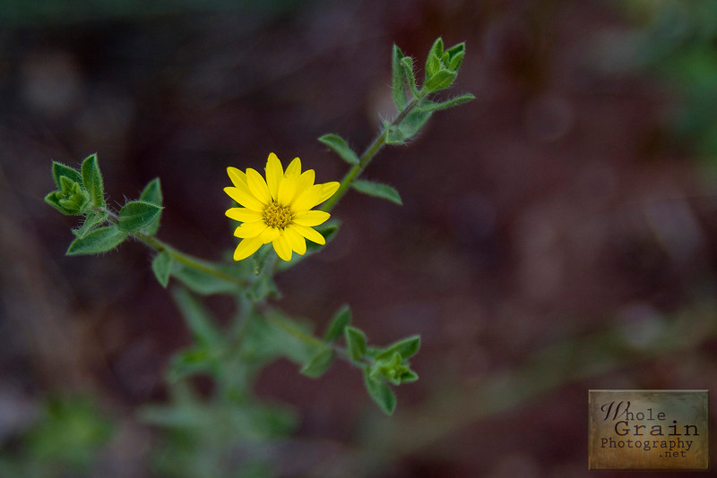 A Drop of Golden Sun.  This wildflower is only a tiny little thing, about the size of a dime, but the vibrant color stands out and is impossible to overlook.