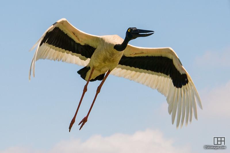 Female Black-necked Stork (Jabiru)