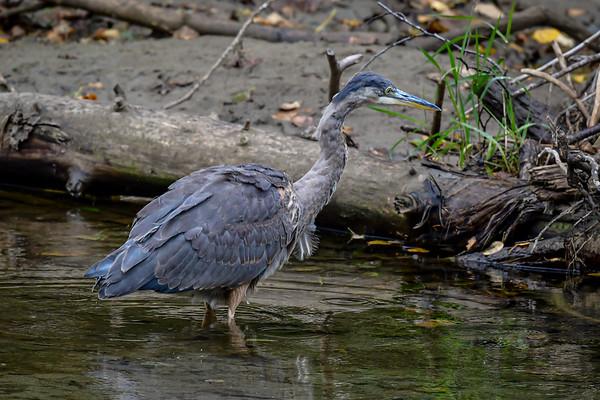 9-28-19 Great Blue Heron - Bella Coola