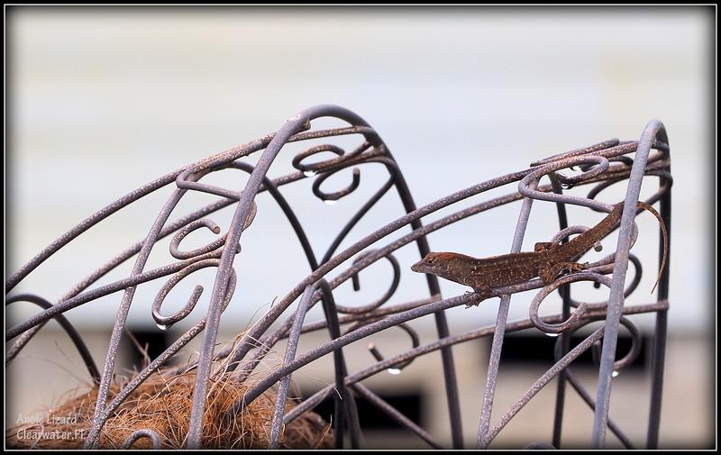 2015-09-29_P9290085_ anole lizard,Clearwater,Fl..JPG