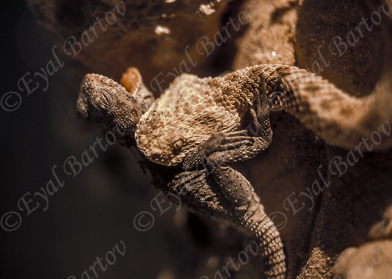 saw-scaled vipers -Echis coloratus- אפעה מגוון