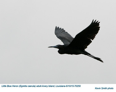 Little Blue Heron A70250.jpg