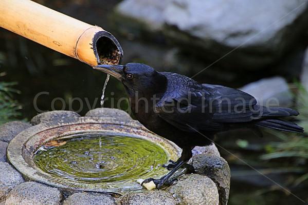 Raven & Crow Totems