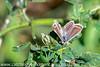 Brown Argus Aricia agestis (1)