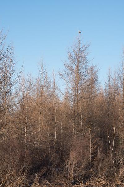 Northern Hawk Owl Zim Road Yoki Road Sax-Zim Bog MN-03022.jpg