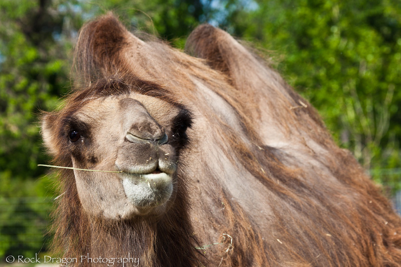 Bactrian Camel, Calgary Zoo