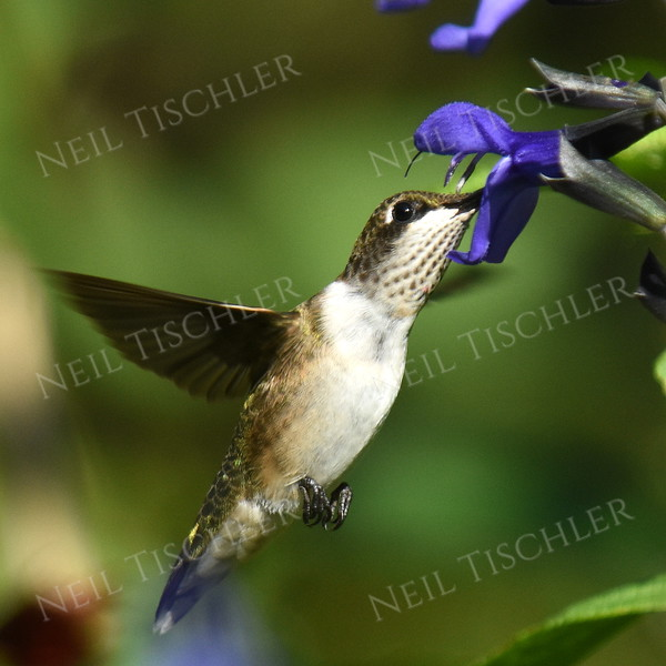 #1133  A male juvenile ruby throated hummingbird feeds at a black-blue salvia blossom.