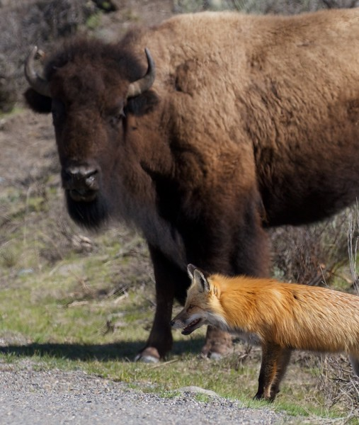 Red Fox and Bison Yellowstone National Park WY IMG_5509.jpg