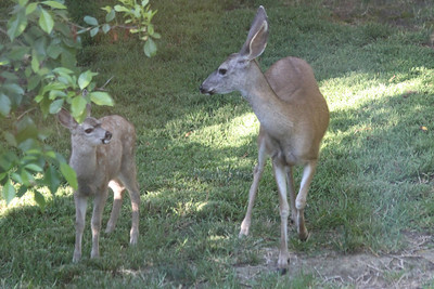 Doe and Fawn in yard